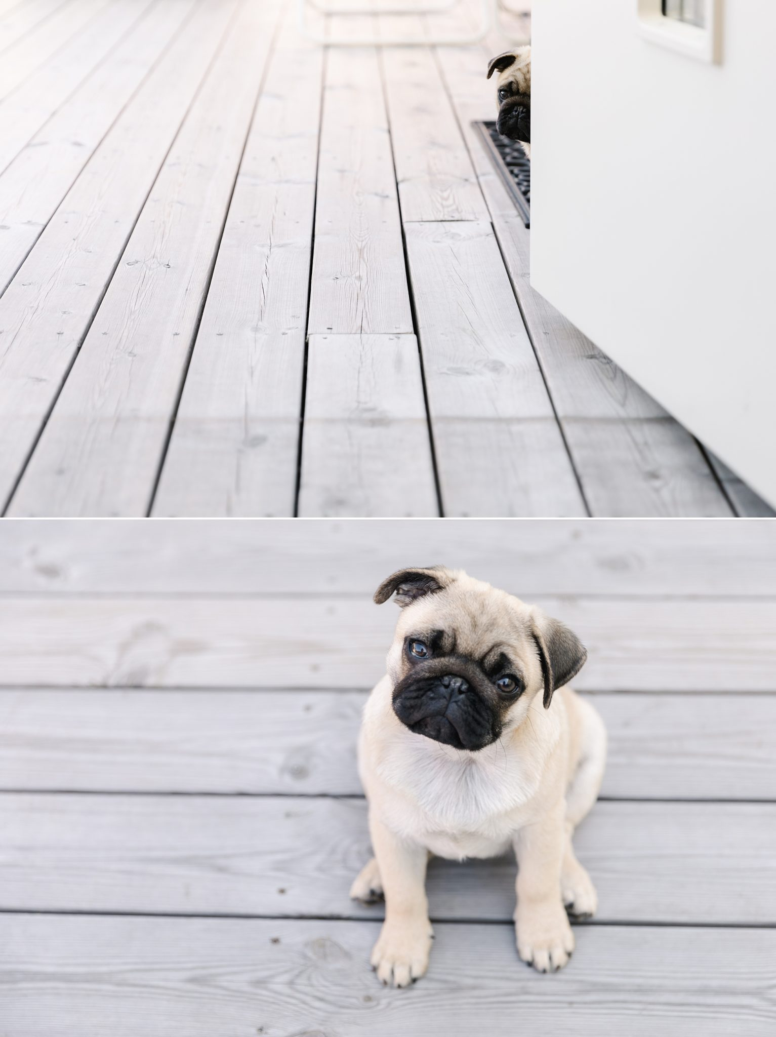 A collage of a cute pug puppy hiding behind a door and sitting